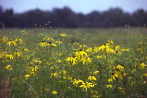 Yellow-petaled flowers raise their faces to the sky in a grassland bordered by trees